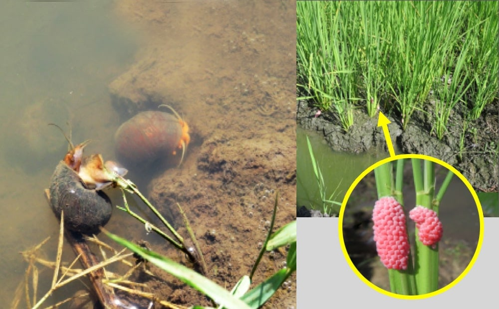 KEPHIS Working with Stakeholders to Combat the Golden Apple Snail Outbreak